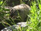Marmotte en gros plan