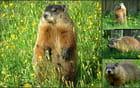 Marmotte no.6