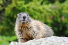 Marmotte sous la pluie
