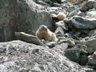 Marmotte sur les rochers