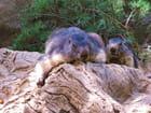 Marmottes.