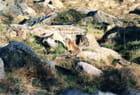 Marmottes au cirque de Troumouse.