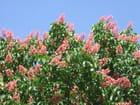 Marronier rose