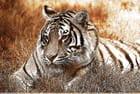 Méfiez-vous du tigre qui se repose