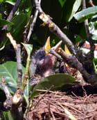 Merles au nid