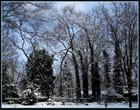 """""""Merveille de l'hiver""""."""