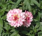 Mes dahlias roses