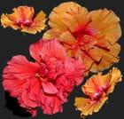 Mes hibiscus 2