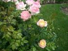Mignonnes roses