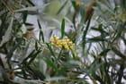 mimosa des quatre saisons