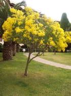 Mimosa en fleurs