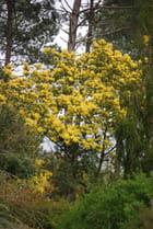 mimosa sauvage dans les bois