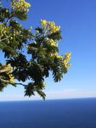 Mimosa-sur-mer