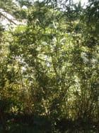 Minis bambous