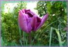 Moi, je suis la tulipe ...