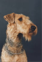 Mon airedale terrier