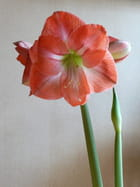 Mon amaryllis ouvert(e)
