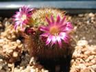 Mon cactus en fleur
