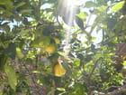 Mon citronnier
