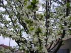 Mon prunier en fleurs