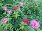 Monardes de mon jardin
