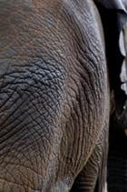 Morceau... d'éléphant