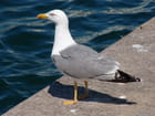 Mouette songeuse