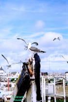 Mouettes à Quiberon aout 2010