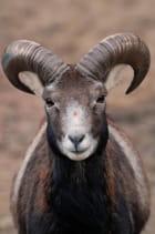 Mouflon d'Europe
