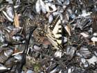 Moules et Papillon