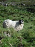 Mouton dans la lande