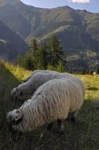 Moutons du Haut-Valais.