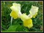Muflier d'un jaune éclatant