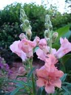 Muflier rose