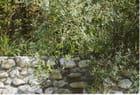 Mur de pierre et olives