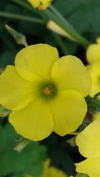 naturel  jaune