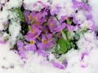 Neige fleurie