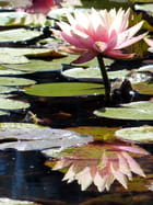 Nénuphar rose et son reflet