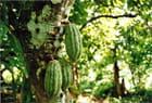 Noix de cacao