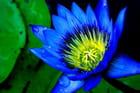Nymphéa Bleu