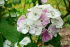 Oeillet de poète blanc  et rose