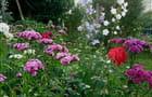 Oeillets de poète dans le jardin