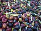 Olives après la récolte