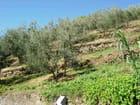 Oliviers en Toscane