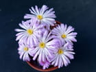 Ophtalmophyllum lydiae