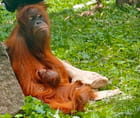 orang-outan avec son petit