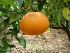 Orange bien mûre