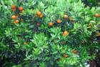 oranger de la Plaine des Grègues