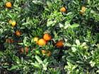 Orangers (1)
