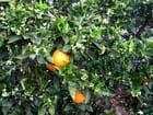 Orangers (2)